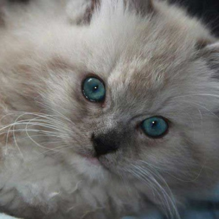 Ragdoll kater Harvey als kitten