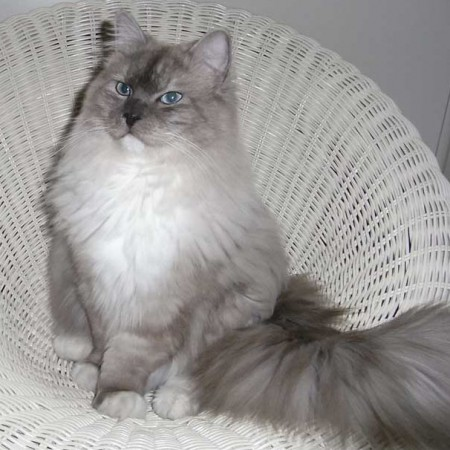 Harvey is een Mink Bleu lynx mitted point