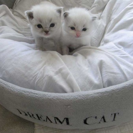 Wondertjes van Lollipop ragdoll kittens
